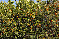 This is the tree where all the little oranges came from. It's just a picture of all the leaves and tiny oranges around them.
