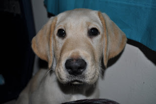 Here is Bob looking at the camera, he is a white/yellow lab with slightly darker ears and really dark eyes.