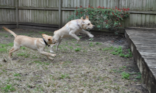 Bob and Egypt are running and Egypt is in mid jump with her back paws still on the ground, she is jumping up onto the deck and you can see all her shoulder muscles really well, her ears are sticking straight up too.