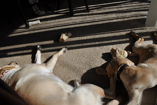Both dogs are resting by the sliding patio door, the sun is flooding in through the open blinds. Egypt has her back against the couch and is on her side, Bob is slightly curled up and is right in front of the door, there are a few bones laying around.