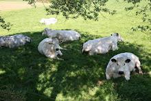 les vaches, nos voisines