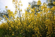 soleil de mai dans les champs de colzaq