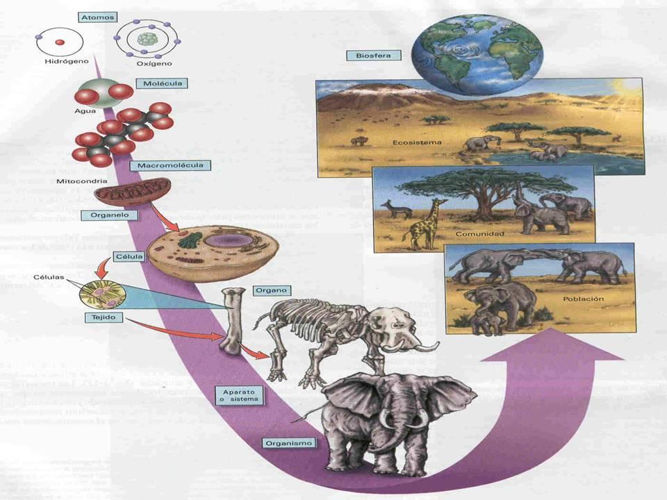 biologia243: NIVELES DE ORGANIZACIÓN DE LA MATERIA