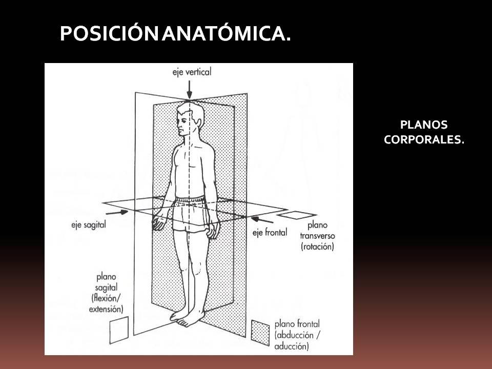 Anatomía y Fisiología humana: POSICIÓN ANATÓMICA.