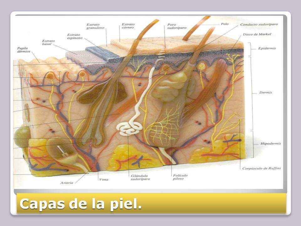 Anatomía y Fisiología humana: SISTEMA TEGUMENTARIO.