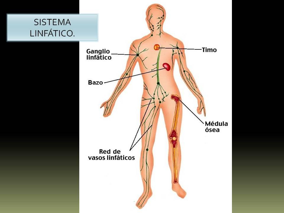 Excelente Anatomía Cuerpo ósea Friso - Anatomía de Las Imágenesdel ...