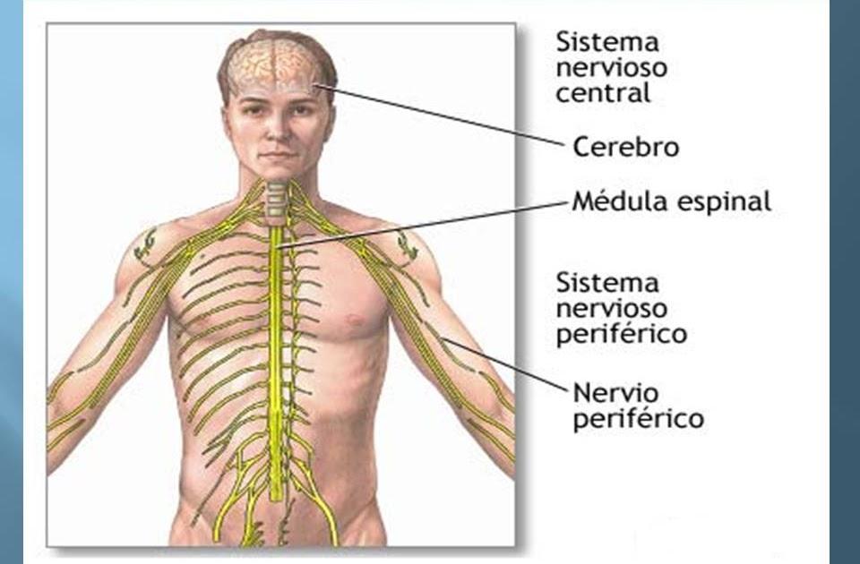 Anatomía y Fisiología humana: Sistema Nervioso.