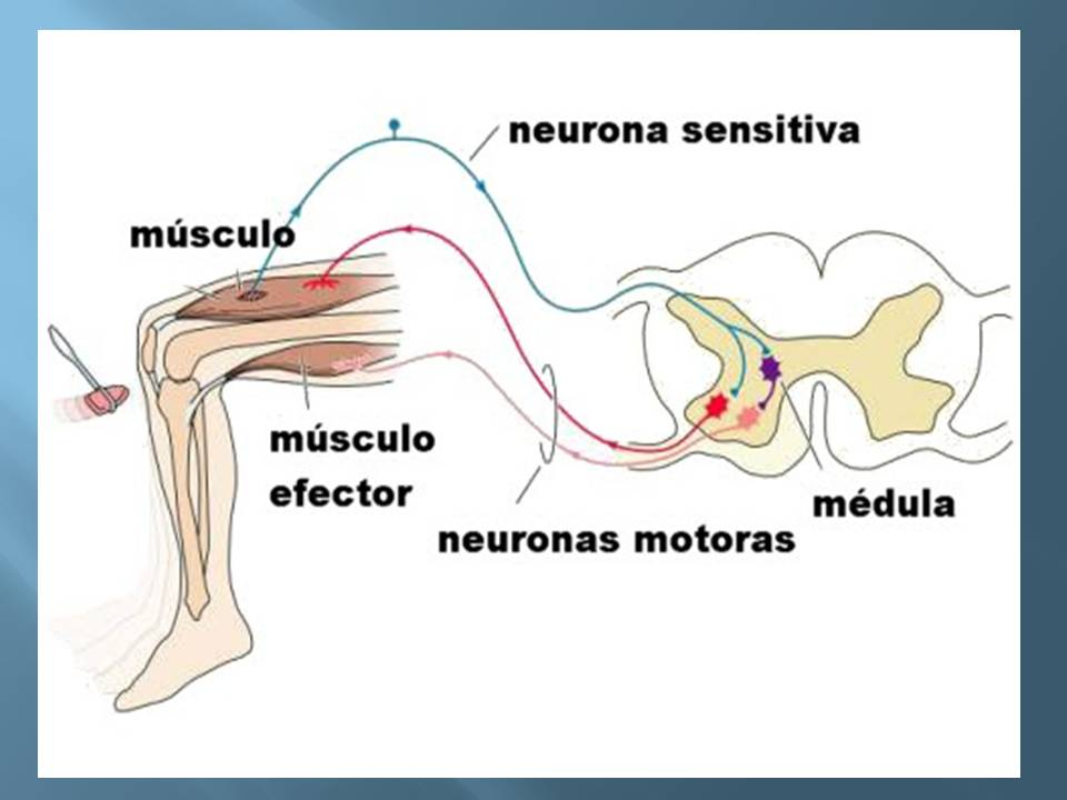 Anatoma y Fisiologa humana Sistema Nervioso