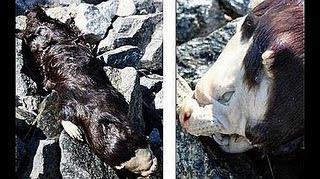 CRIATURA Descubierto el cuerpo de un extraño animal en Canadá
