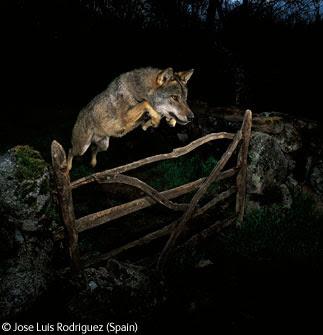 lobo Mejor fotografía de naturaleza 2009