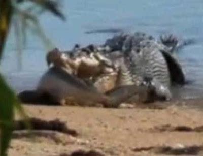 cocodrilo tiburón Cocodrilo devora a un tiburón