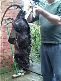 rata Ratas gigantes en Inglaterra