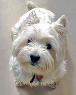 West Highland White Terrier Cute Dogs