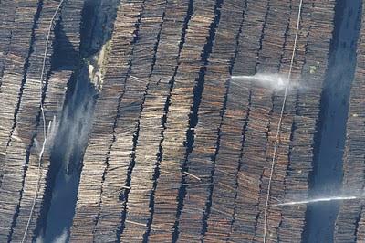 Photo rapprochée de pin arrosés pour éviter son pourrissement