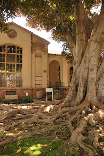 Photograph of a library building and a large treewith extensive roots.