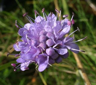 Заешки уши / Succisa pratensis (Dipsaceae)