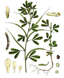 Сминдух, камилско сено / Trigonella foenum graecum
