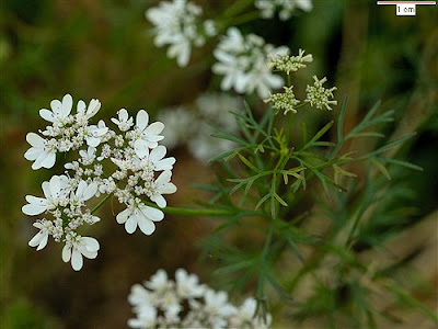 Kориандър / Coriandrum sativum