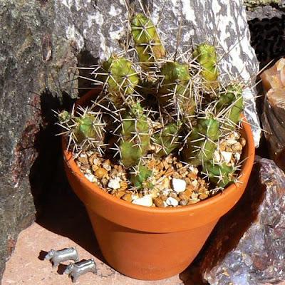 Echinocereus pentalophus