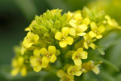 Зимниче, збина, обикновена злина / Barbarea vulgaris