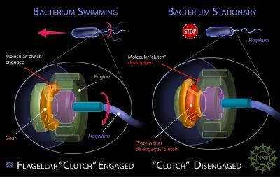 Flagelo bacteriano in situ: Darwin não explica a origem e nem a evolução disso!!!  Flagelo+bacteriano+4