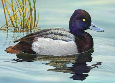 Lesser Scaup duck stamp entry by Shari Erickson