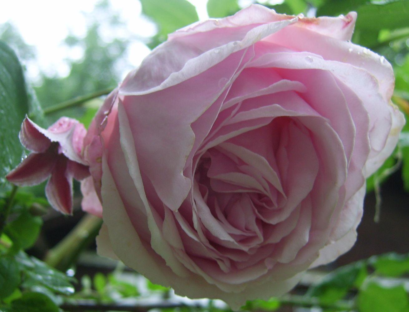 Le jardin d 39 adiante rosier ancien colcestria clematis - Bouturer un rosier ancien ...