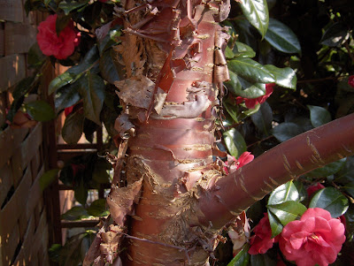 Japanese cherry tree bark