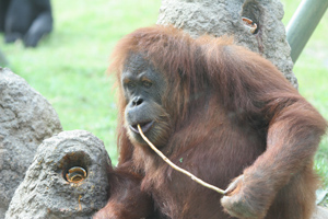Orangutan using a tool. He who Brainstorms gets the Prize.