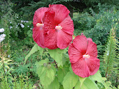"""Disco Belle"" Hibiscus (perennial)"