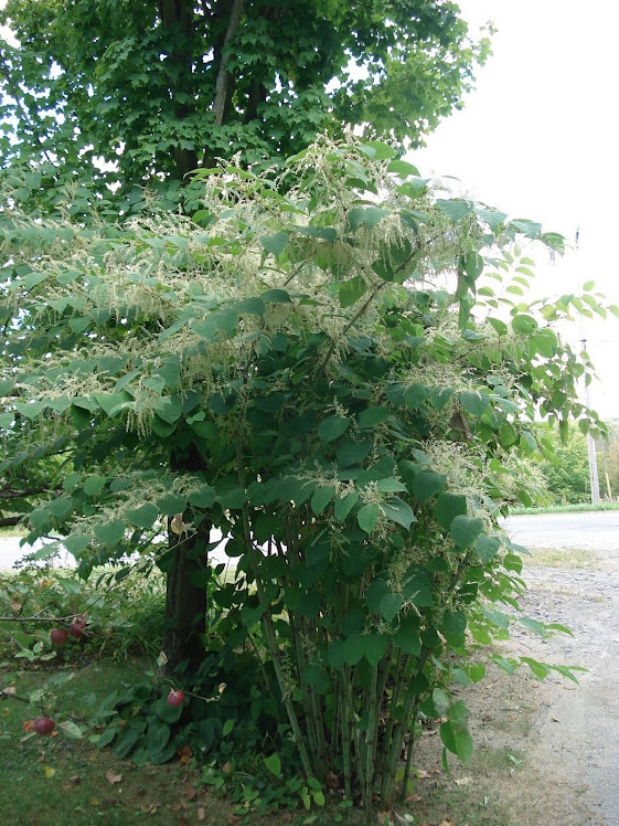 Bamboo type plants by our Maple tree