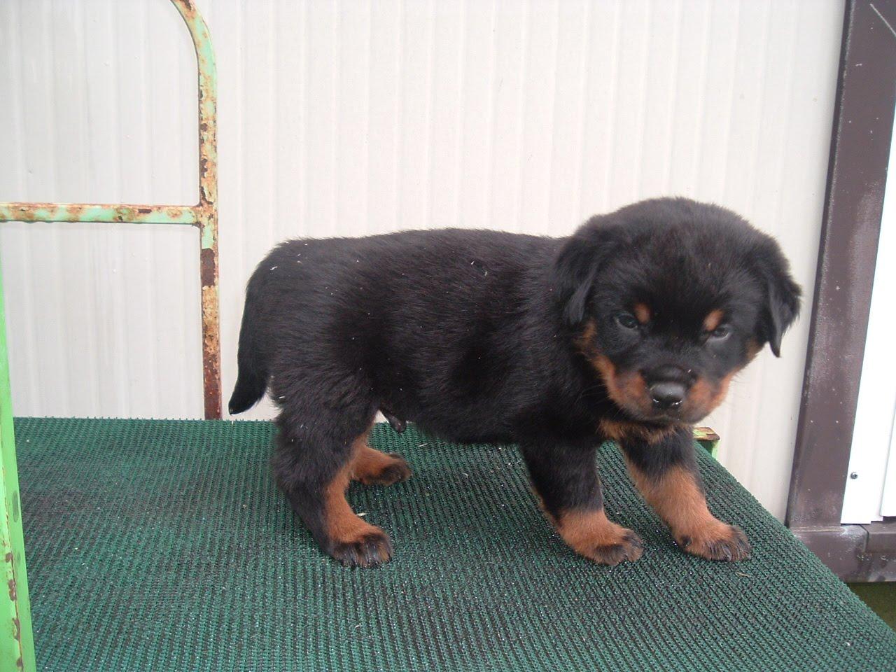 Il Sagittario Dogs Center Cuccioli Di Rottweiler