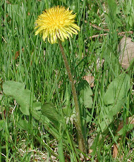 Dandelion's Leaves Contain an Anti-Cancer Ingredient