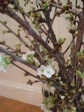 morell treet i full blomst!