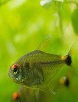 Ryby akwariowe Bystrzyk Trȯjpręgi