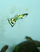 Ryby akwariowe Gupik pawie oczko