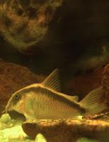 Ryba akwariowa Kirysek Strumieniowy