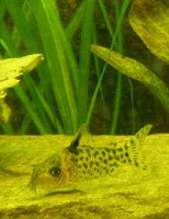 Ryba akwariowa Kirysek Czarnopasy