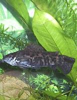 Ryba akwariowa Kiryśnik czarnoplamy