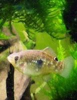 Ryba akwariowa Cyprinodontidae - Karpieńcowate