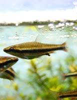 Ryba akwariowa  Drobnoustek Beckforda