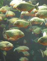 Ryba akwariowa Pirania Natterera