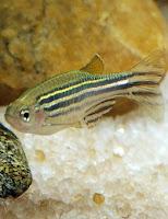 Ryba akwariowa Danio Pręgowany