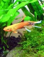 Ryba akwariowa Proporczykowiec z Kap Lopez