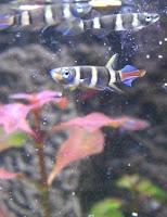 Ryby akwariowe Szczupieńczyk Karłowaty
