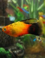 Ryby akwariowe Zmienniak plamisty