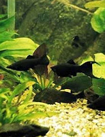Ryby akwariowe Molinezja Black Molly