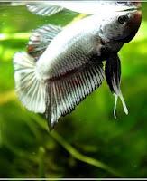 jli4 - ryby akwariowe