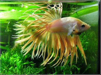 Ryby akwariowe - gnmxc28