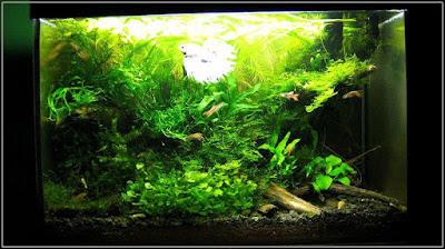 Ryby akwariowe - hyted25
